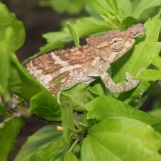 Taita Blade-Horned Chameleons (Kinyongia boehmei)
