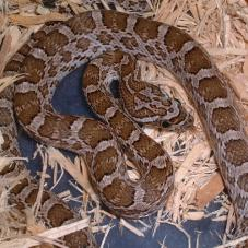 Great Plains Ratsnake (Pantherophis emoryi)