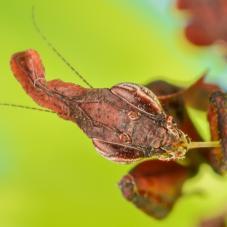 Ghost Praying Mantis (Phyllocrania paradoxa)