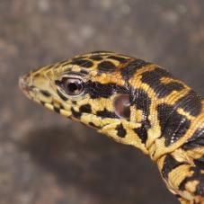 Golden Tegu (Tupinambis teguixin)