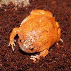 Burmese Chubby Frog (Calluella guttulata)