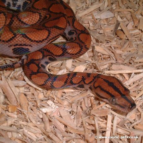 Boas and Pythons for sale, buy Boas and Pythons online at