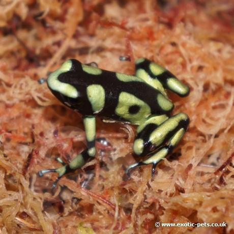 Green & Black Poison Dart Frogs