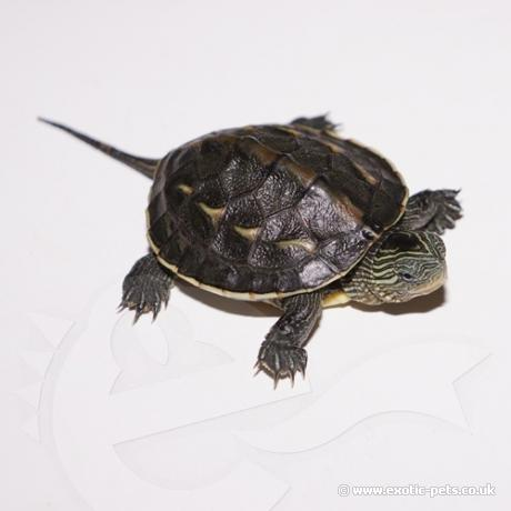Chinese Striped Neck Turtle