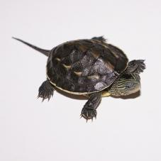 Chinese Striped Neck Turtle (Mauremys sinensis)
