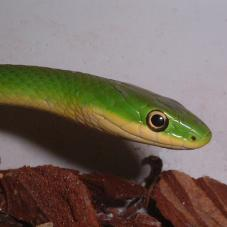 Rough Green Snake (Opheodryas aestivus)