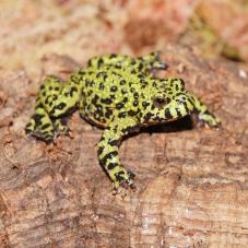 Fire Bellied Toad (Bombina orientalis)