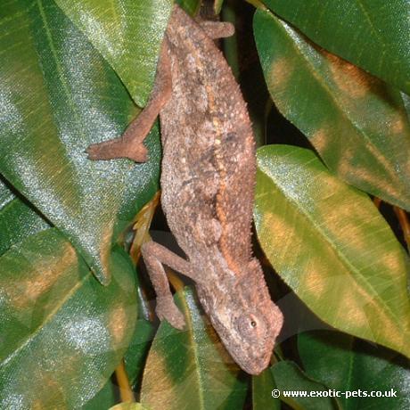 Side Striped Chameleon