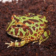 Ornate Horned Frog (Ceratophrys ornata)