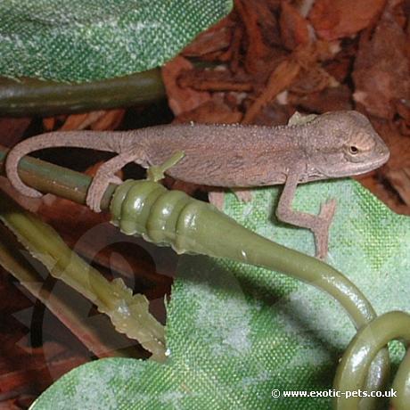 Elliots Chameleon