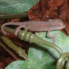 Elliots Chameleon (Chamaeleo ellioti)