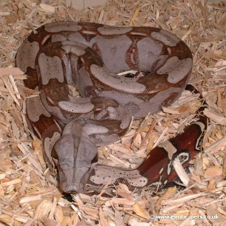 Red Tail Boa Constrictor Red Tailed Boa Constrictor