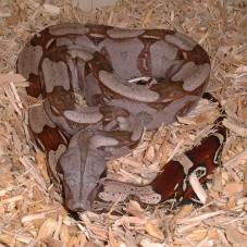 Red Tailed Boa Constrictor (Boa constrictor constrictor)