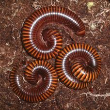 Amber Millipedes (Unknown species)