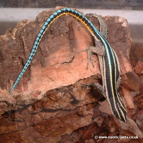 Neon Blue Tailed Tree Lizard