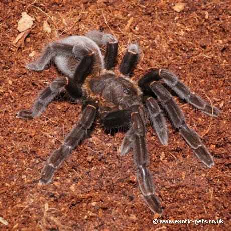 Borneo Orange-Fringed Tarantula