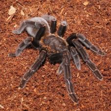 Borneo Orange-Fringed Tarantula (Ornithoctoninae sp. borneo)