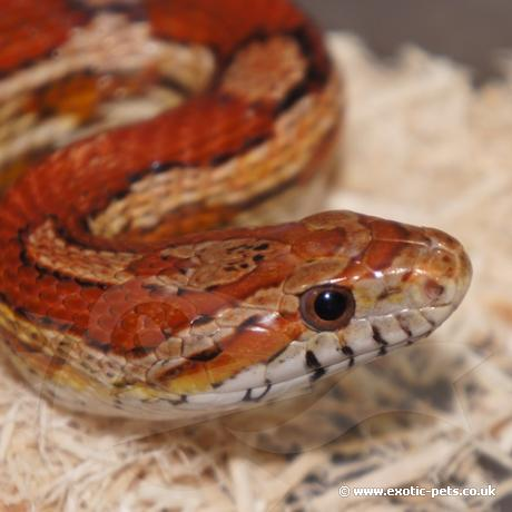 Carolina Corn Snake Close Up Corn Snake