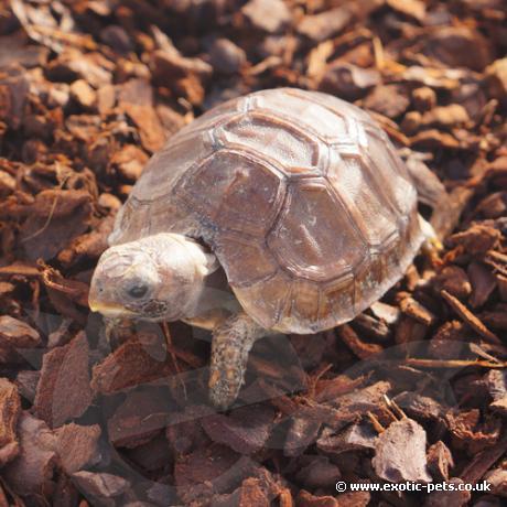 Bells Hinged Back Tortoise