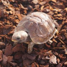 Bells Hinged Back Tortoise (Kinixys belliana)