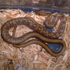 Trinket Snake (Elaphe helena)