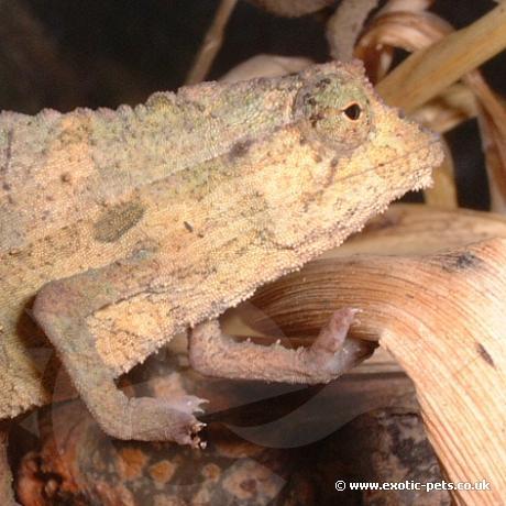 Kenyan Pygmy Chameleon