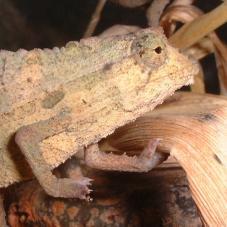 Kenyan Pygmy Chameleon (Rhampholeon Kerstenii)