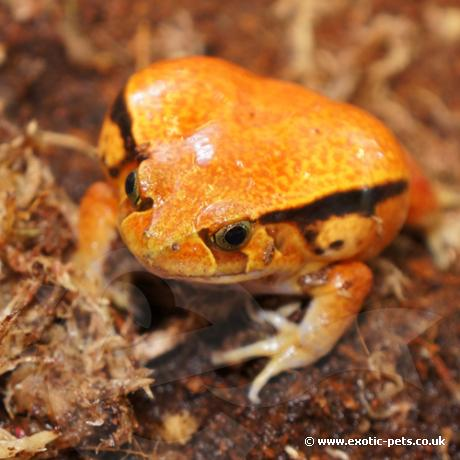 False Tomato Frog