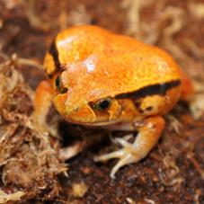 False Tomato Frog (Dyscophus guineti)