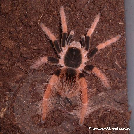 Columbian Giant Tarantula