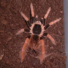 Columbian Giant Tarantula (Megaphobema robustum)