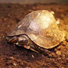 Painted Wood Turtle (Rhinoclemmys pulcherimma)