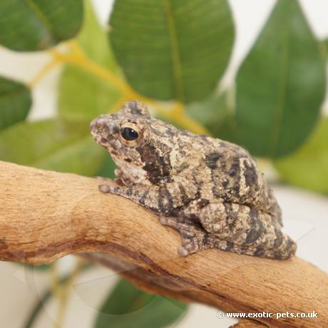 Grey Foam Nest Tree Frog