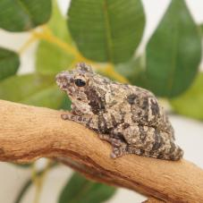 Grey Foam Nest Tree Frog (Chiromantis xerampelina)