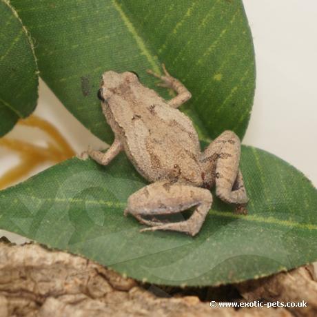 Ornate Pygmy Frog