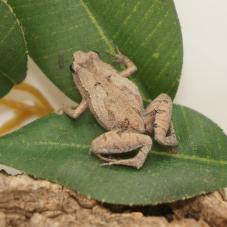 Ornate Pygmy Frog (Microhyla fissipes)