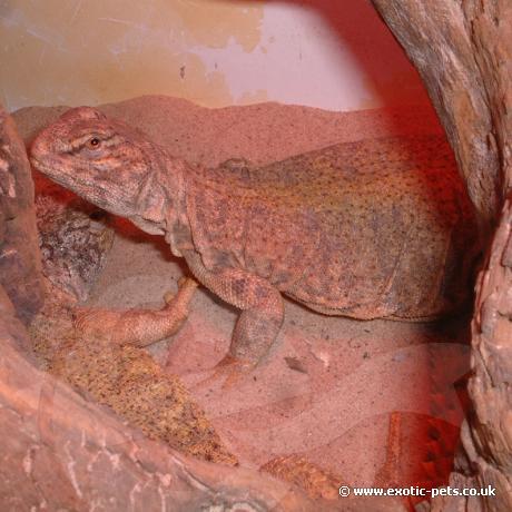 Sudan Uromastyx