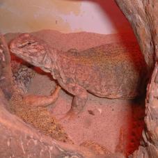 Sudan Uromastyx (Uromastyx dispar)