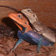 Red Headed Agama (Agama agama)