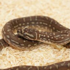 Centralian Python (Morelia bredli)