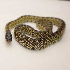 Desert King Snake (Lampropeltis getula splendida)