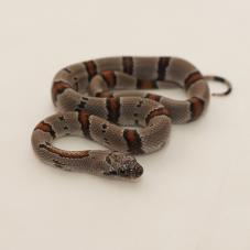 Grey Banded King Snake (Lampropeltis alterna)