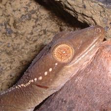 Palm Gecko (Gekko vittatus)