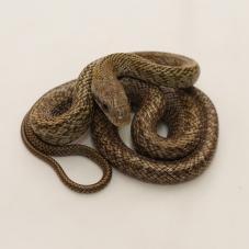 Japanese Rat Snake (Elaphe climacophora)
