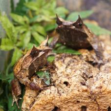 Long Nosed Horned Frog (Megophrys nasuta)