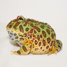 Argentinian Horned Frog (Ceratophrys cranwelli)
