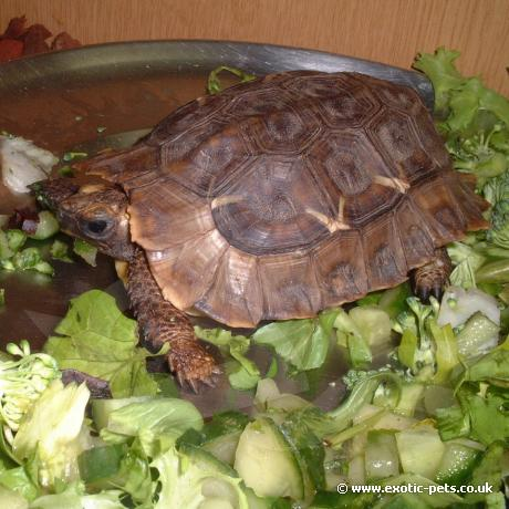 Homes Hing Back Tortoise feeding