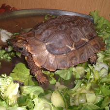 Homes Hinged Back Tortoise (Kinixys homeana)