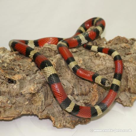 King and Milk Snakes for sale, buy King and Milk Snakes online at