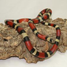 Nelsons Milk Snake (Lampropeltis triangulum nelsoni)